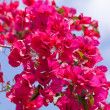 Beautiful pink magenta bougainvillea flowers and blue sky — Stock Photo