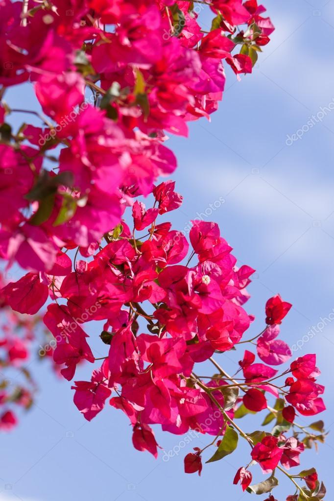 Flores hermosas buganvillas magenta rosado y azul cielo - Fotos de buganvillas ...