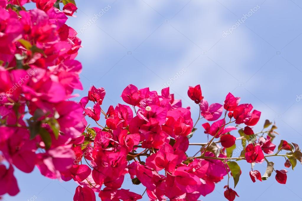 Fleurs magnifiques bougainvilliers magenta rose et bleu ciel en été en plein air \u2014 Image de nilswey