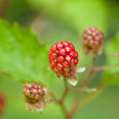 Raspberry plant outdoor in garden summer berries flowes — Stock Photo #31058079