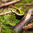 Fire salamander salamandra closeup in forest outdoor — Stock Photo