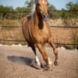 Stock Photo: Beautiful blond cruzado horse outside horse ranch field