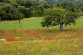 Beautiful poppy field in red and green landscape — Stock Photo