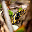 Stock Photo: Fire salamander salamandrcloseup in forest outdoor