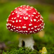 Agaric amanita muscaia mushroom detail in forest autumn — Stock Photo