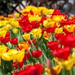 Beautiful colorful yellow red tulips flowers  — Stock Photo