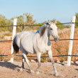Beautiful pura raza espanola pre andalusian horse — Stock Photo