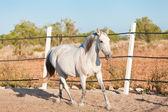 Beautiful pura raza espanola pre andalusian horse — Stock Photo
