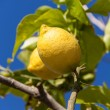 Fresh lemons on lemon tree blue sky nature summer — Stock Photo
