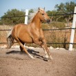 Beautiful blond cruzado horse outside horse ranch field — Stock Photo #36602833
