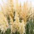 Feathery grass background outdoor — Stock Photo