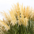 Feathery grass background outdoor — Photo