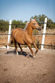 Beautiful blond cruzado horse outside horse ranch field — Stock Photo