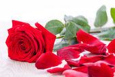 Beautiful red rose on white bachground — Stock Photo