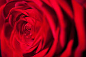 Beautiful fragrant red rose for Love — Stock Photo