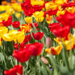 Beautiful colorful yellow red tulips flowers — Stock Photo #37993613