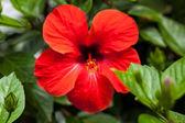 美丽的红芙蓉花夏季户外 — 图库照片