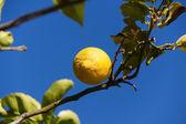 Fresh lemons on lemon tree blue sky nature summer — Stockfoto