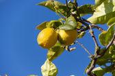Fresh lemons on lemon tree blue sky nature summer — Foto de Stock