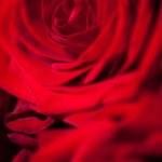 Постер, плакат: Red rose