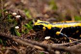 Fire salamander salamandra closeup in forest outdoor — Stock Photo