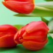 Fresh red tulips — Stock Photo