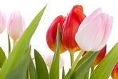 Dainty pink tulips — Stock Photo
