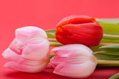 Delicate pink tulips — Stock Photo