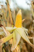Corn on the cob in an agricultural field — Stock Photo