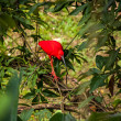 Постер, плакат: Red ibis in lush greenery
