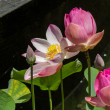 Постер, плакат: Beautiful fragrant pink water lily