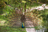 Peacock in a mating display — Stock Photo