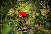 Red ibis in lush greenery — Stok fotoğraf