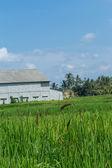 Lush green terraced farmland in Bali — Stock Photo