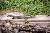 Small monitor lizard sunning on a ledge — Photo