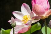 Beautiful fragrant pink water lily — Stock Photo