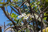 Frangipani flowers on the tree — Stock Photo