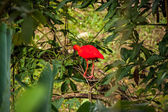 Red ibis in lush greenery — Stock Photo