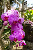 Beautiful exotic Phalaenopsis orchids — Stock Photo