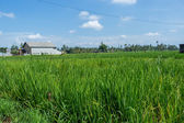 Lush green terraced farmland in Bali — Stock Photo