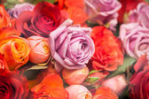 Bunches of colorful roses — Stock Photo