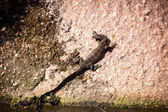 Small monitor lizard — Stock fotografie