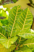 Colorful yellow and green Croton leaf — Stock Photo