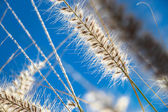 Grass with fluffy inflorescences — Stock Photo