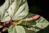 Red hibiscus bud — Stock Photo