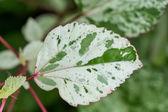Prydnads brokig lövrik buske — Stockfoto