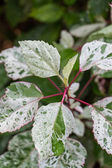 Ornamental variegated leafy shrub — Stok fotoğraf