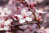 Beautiful spring cherry blossom — Stockfoto