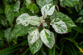 Ornamental variegated leafy shrub — 图库照片
