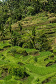Lush green terraced farmland — Stock Photo
